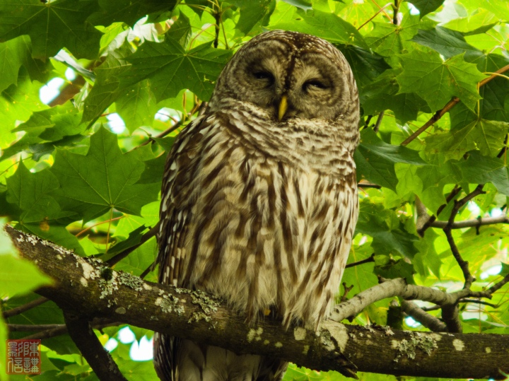 Sabin Barred Owl