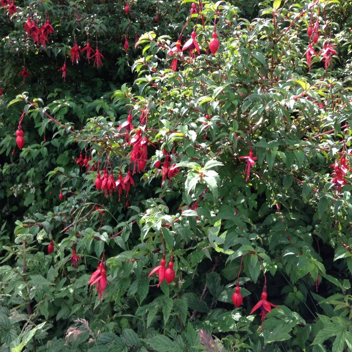 Fuchsia grows wild in hedgerows